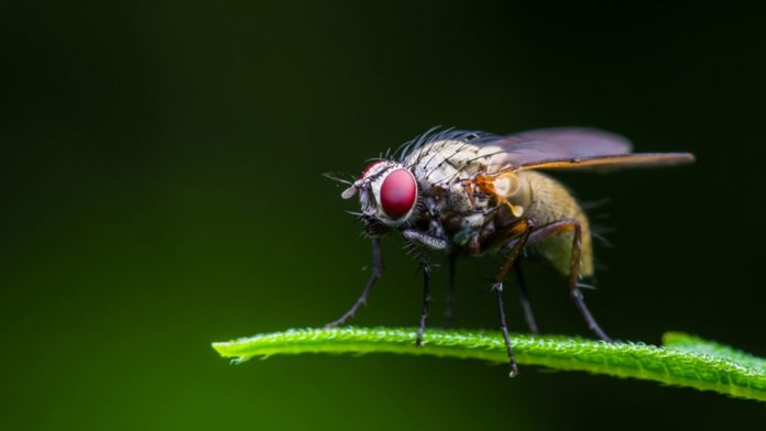 Fruit flies get more aggressive when food-deprived, but their behaviour plateaus after 24 hours. File pic