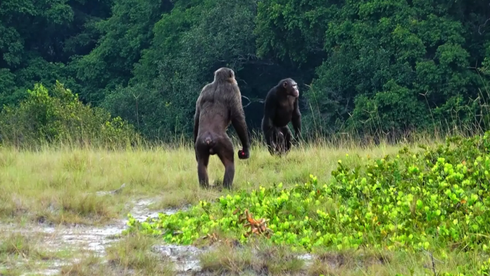 Chimpanzees have been observed killing gorillas for the first time. Pic: LCP, Lara M. Southern